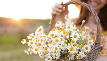 Aké bylinky zbierať v júli a ich účinky